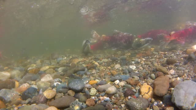 stockvideo's en b-roll-footage met underwater: group of river salmon swimming around each other in rocky water - overige