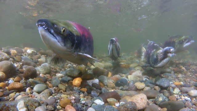 vídeos de stock, filmes e b-roll de underwater: group of river salmon swimming upstream in shallow water - água doce