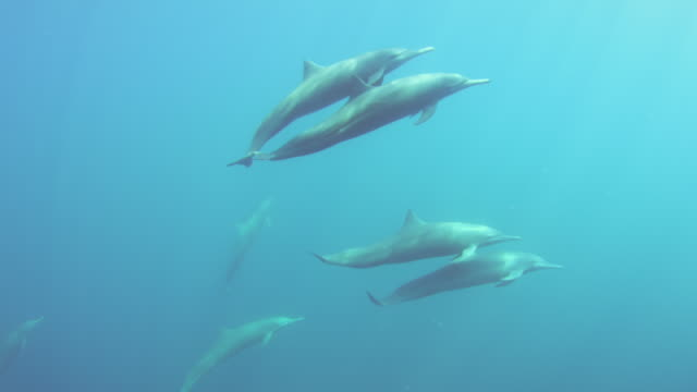 Underwater PAN group of Spinner Dolphins swim past camera