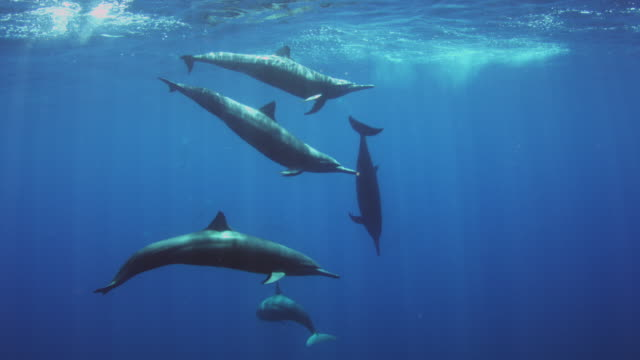 underwater group of spinner dolphins swimming to surface to breathe - spotted dolphin stock videos and b-roll footage