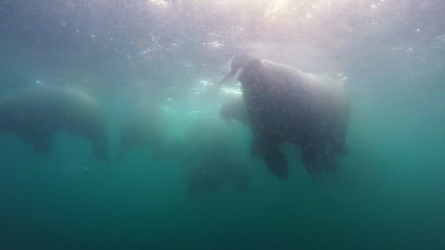 underwater group of walrus swim near to camera and breathe at surface in cloudy water - スヴァールバル諸島およびヤンマイエン島点の映像素材/bロール