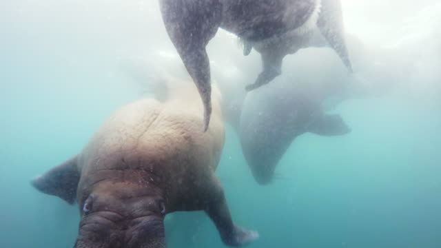 underwater group of walrus swim near to camera and one comes up to lens - swimming stock videos & royalty-free footage