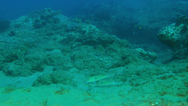 underwater group of yellow goatfish probing seabed with their barbels - barbel stock videos and b-roll footage
