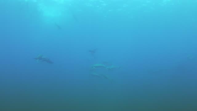 vídeos de stock e filmes b-roll de underwater pan groups of spinner dolphins swim past camera - golfinho pintado pantropical