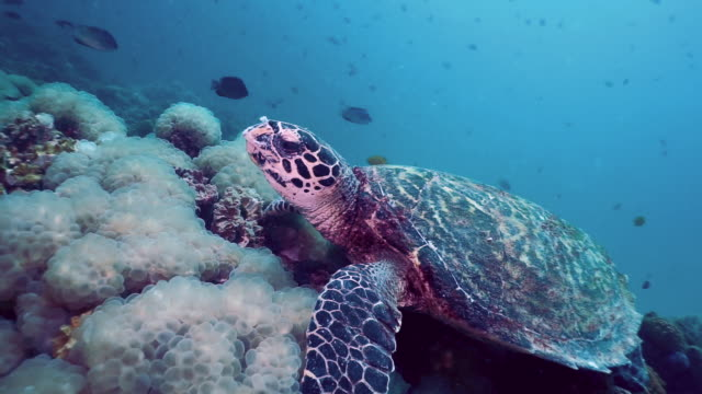 underwater hawksbill sea turtle (eretmochelys imbricata) eating bubble coral critically endangered species - hawksbill turtle stock videos & royalty-free footage