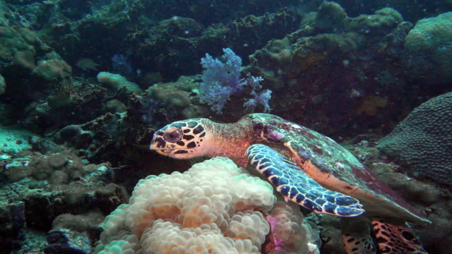 underwater hawksbill sea turtle (eretmochelys imbricata) eating coral - iucn red list stock videos & royalty-free footage