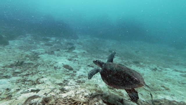 vídeos de stock, filmes e b-roll de tartaruga-de-falcão subaquática (eretmochelys imbricata) espécies criticamente ameaçadas nadando sobre areia - província de krabi