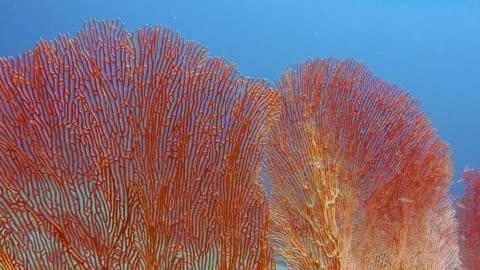 underwater healthy gorgonia sea fan coral reef - reef stock videos & royalty-free footage