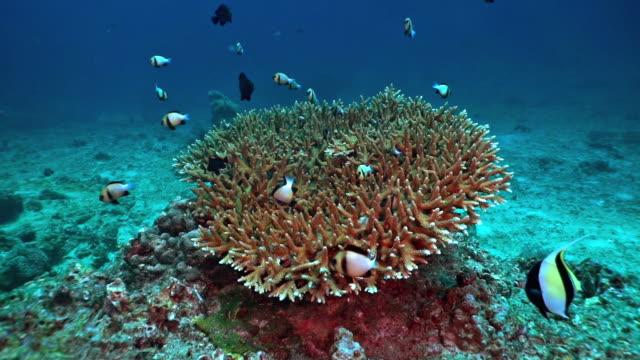 underwater healthy staghorn (acropora) coral containing indian damselfish (dascyllus carneus) - moorish idol stock videos and b-roll footage