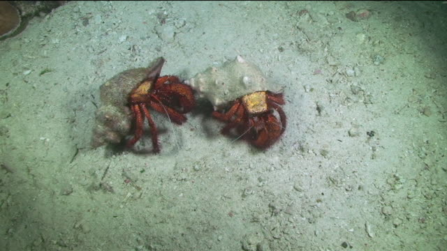 underwater hermit crabs fighting on the sea bed - crab stock videos & royalty-free footage