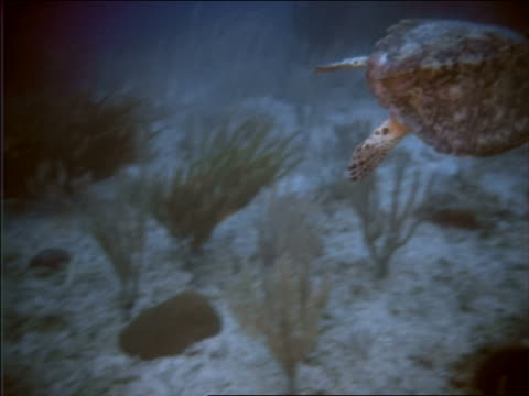 underwater high angle tracking shot sea turtle swimming near ocean floor