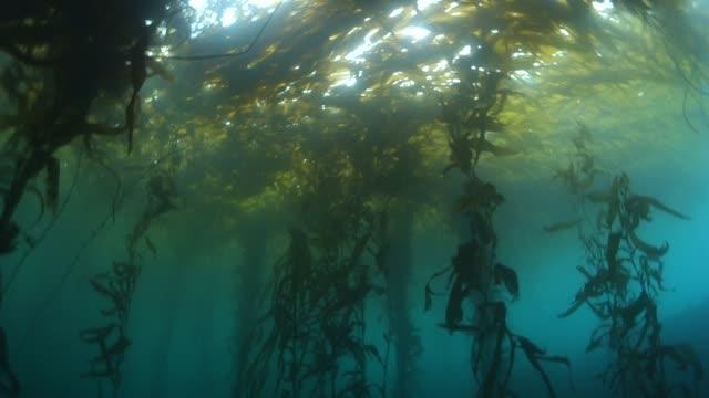vídeos de stock, filmes e b-roll de underwater: huge kelp forest ebbing and flowing with waves - kelp