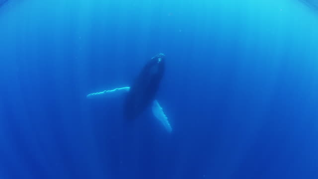 Underwater POV, humpback whale swims to surface
