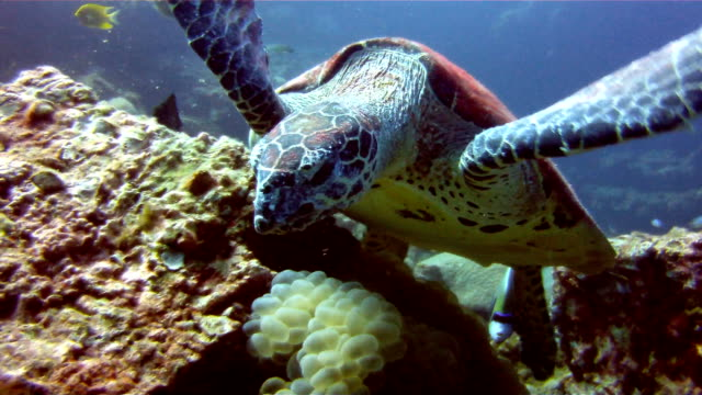 vídeos de stock e filmes b-roll de underwater image of a wild hawksbill sea turtle (eretmochelys imbricate) eating coral.  listed as critically endangered (facing an extremely high risk of extinction in the wild in the immediate future). these animals are extremely rare. - animal body part