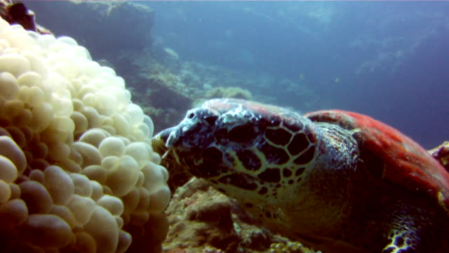 underwater image of a wild hawksbill sea turtle (eretmochelys imbricate) eating coral.  listed as critically endangered (facing an extremely high risk of extinction in the wild in the immediate future). these animals are extremely rare. - turtle shell stock videos & royalty-free footage