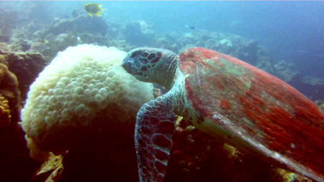 underwater image of a wild hawksbill sea turtle (eretmochelys imbricate) eating coral.  listed as critically endangered (facing an extremely high risk of extinction in the wild in the immediate future). these animals are extremely rare. - perpetual motion stock videos & royalty-free footage