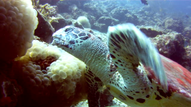 underwater image of a wild hawksbill sea turtle (eretmochelys imbricate) eating coral.  listed as critically endangered (facing an extremely high risk of extinction in the wild in the immediate future). these animals are extremely rare. - hawksbill turtle stock videos & royalty-free footage
