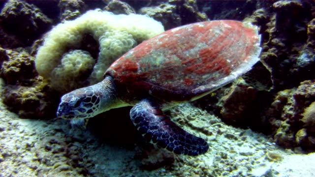 水中イメージの野生のタイマイ海 (生息覆瓦) 食べて、サンゴ。 絶滅危惧 (近い将来野生での絶滅のリスクが非常に高いが直面している) として表示されます。これらの動物は非常にまれです。 - 永久運動点の映像素材/bロール