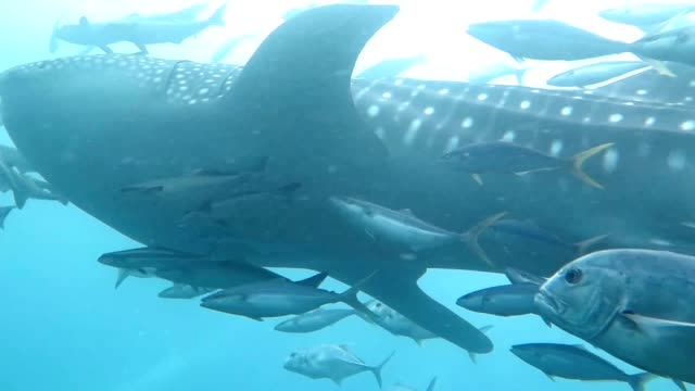 underwater in andaman sea with whale shark swimming past camera - animal fin stock videos & royalty-free footage