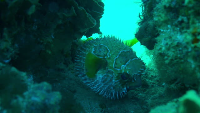 Underwater MS inflated Puffer Fish hiding in gap in coral reef