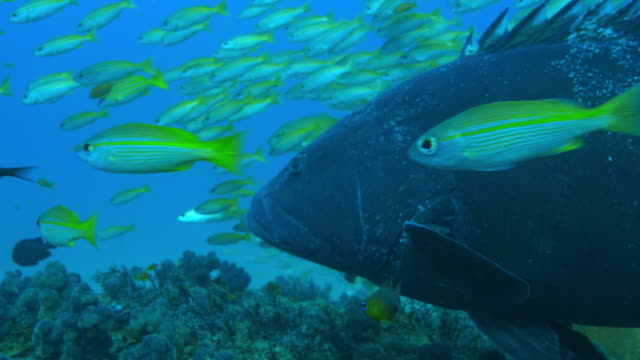 underwater ms into cu goliath grouper surrounded by smaller reef fish - triglia tropicale video stock e b–roll