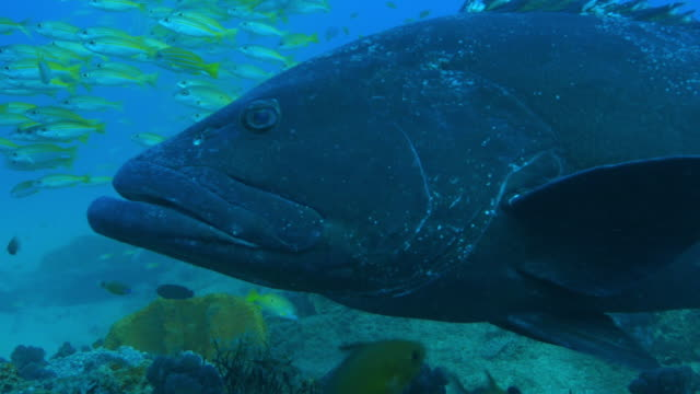 Underwater CU into MS Goliath grouper surrounded by smaller reef fish