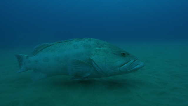 Underwater MS into CU Potato Cod floating over seabed