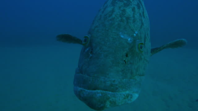 underwater ms into cu potato cod floating right up to lens over seabed - grouper stock videos & royalty-free footage