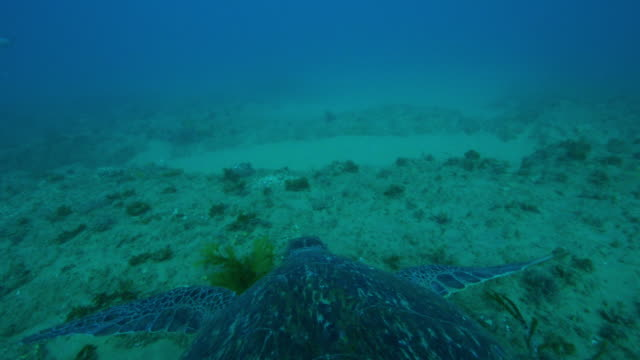 underwater ha into profile track with green turtle swimming over reef and eating seaweed - green turtle stock videos and b-roll footage