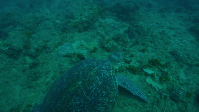 underwater ha into profile track with green turtle swimming over reef and eating seaweed - 海草点の映像素材/bロール