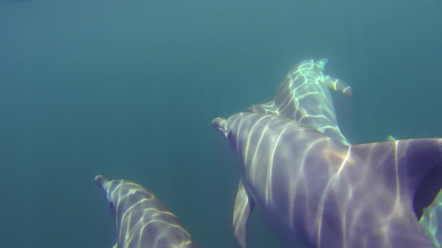 Underwater CU into MS track behind Bottlenosed Dolphins swimming in open sea