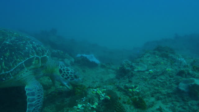 underwater cu into ecu track into green turtle eating seaweed - green turtle stock videos and b-roll footage