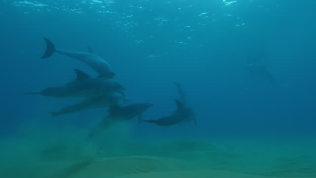 Underwater MS into CU track with male Bottlenosed dolphin group chasing female
