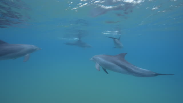 vídeos de stock e filmes b-roll de underwater ms into cu tracking with bottlenosed dolphins swimming fast and sweeping across frame  - cetáceo