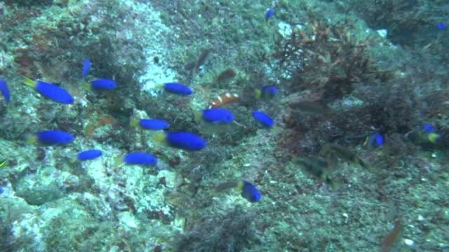 underwater, juvenile african coris, izu oshima, japan - young animal stock videos & royalty-free footage