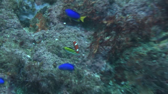 underwater, juvenile african coris, izu oshima, japan - meerbarbe stock-videos und b-roll-filmmaterial