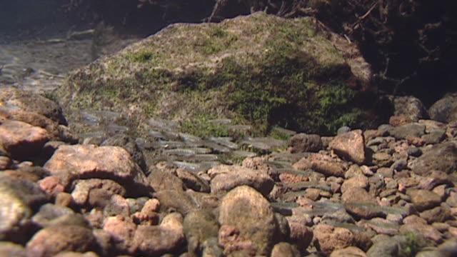 underwater, juvenile salmonids - freshwater stock videos & royalty-free footage