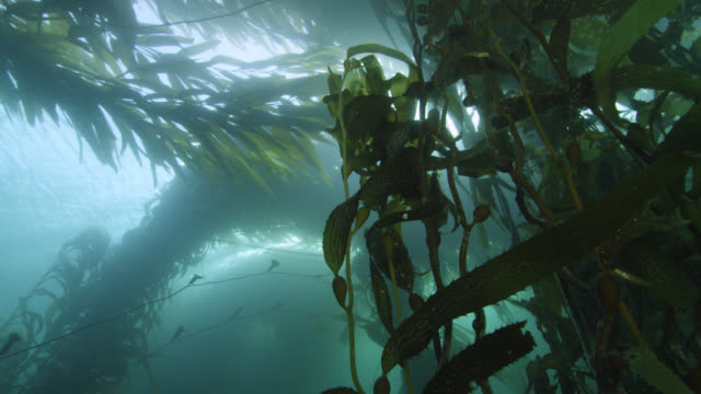 underwater kelp forest, falkland islands - seetang stock-videos und b-roll-filmmaterial