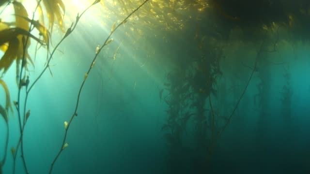underwater: kelp forest in gorgeous turquoise water - ケルプ点の映像素材/bロール