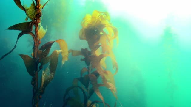 underwater kelp forest - aquatic organism stock videos & royalty-free footage