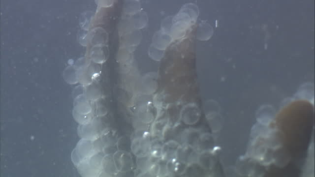 Underwater kelp is covered with Pacific herring eggs. Available in HD.