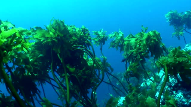 Underwater kelp swaying in the surge