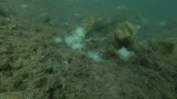 underwater landscape, seabed overgrown with brown algae, laminaria and ascidian colony Transparent sea squirt or Yellow Sea Squirt (Ciona intestinalis, Ascidia intestinalis)