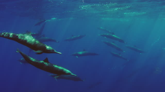 vidéos et rushes de underwater large group of spinner dolphins swimming just below surface to breathe - dauphin