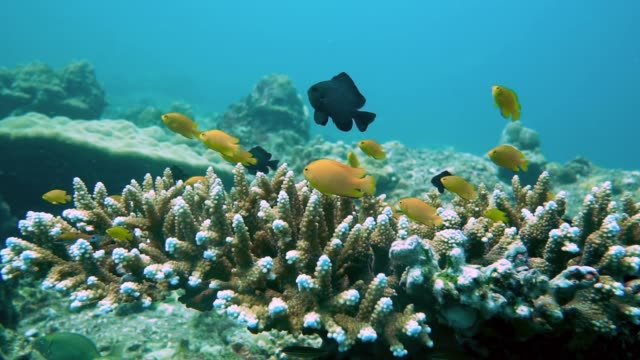Underwater Lemon Damselfish (Pomacentrus moluccenis) in Staghorn (Acropora) coral