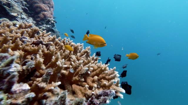 underwater lemon damselfish (pomacentrus moluccenis) in staghorn coral (acropora) - indian ocean stock videos & royalty-free footage