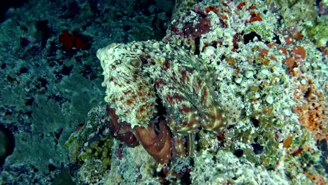 underwater life. multi colored octopus hiding on coral reef. camouflage - camouflage stock videos & royalty-free footage