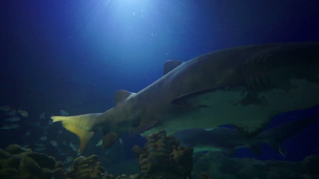 underwater life: swimming with the sharks - sand tiger shark stock videos and b-roll footage