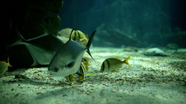 underwater life - humphead wrasse stock videos & royalty-free footage