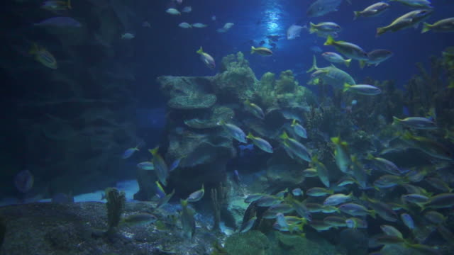 Underwater life: yellow tail fishes swimming in a coral garden